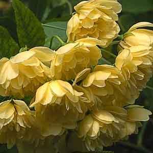 Lady Bank's Rose