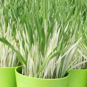 Varigated Tabby Cat Grass