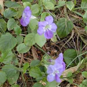 Ganges Primrose, Chinese Violet