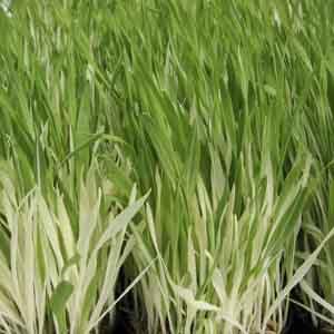 Variegated Tabby Cat Grass