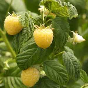 Gold Raspberry