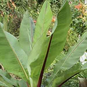 Ensete, Abyssinian Banana