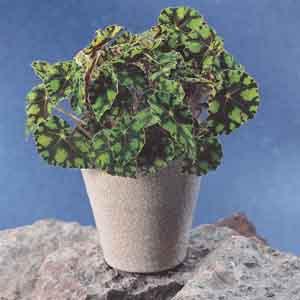 Rhizomatous Begonia