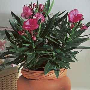 Oleander Indoors