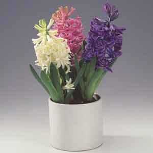 Hyacinth Indoors