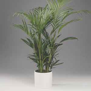 Areca Palm, Golden Feather Palm Indoors