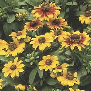 Gloriosa Daisy Annual