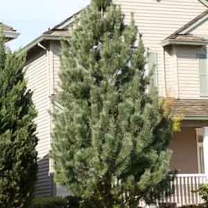 Columnar Eastern White Pine