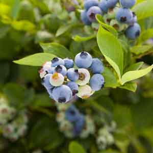 Northern Highbush Blueberry