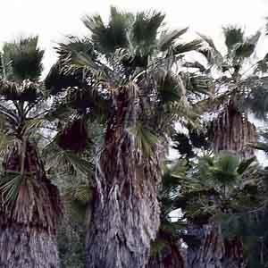 Mexican Fan Palm, Washington palm