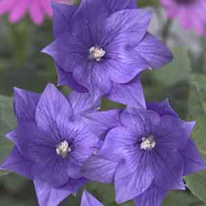 Double Balloon Flower, Chinese Belflower, Japanese Bellflower