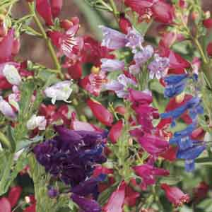 Beardtongue, Penstemon
