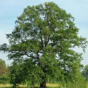Oak Species
