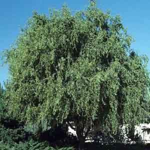 Globe Willow, Chinese Willow