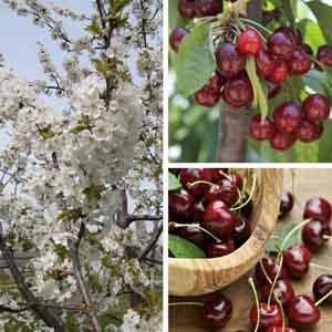 Sweet Cherry, Cherry