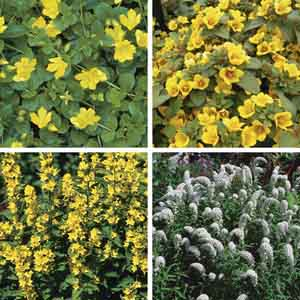 Loosestrife, Creeping Jenny, Moneywort