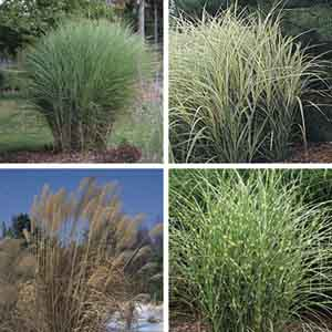 Miscanthus, Ornamental Grass (Miscanthus species)