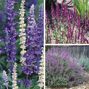 Perennial Sage, Meadow Sage, Garden Sage