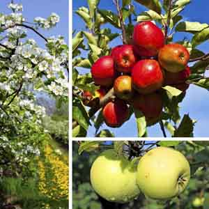 Apple (Malus pumila)