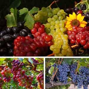Grape, Fox Grape, Concord Grape