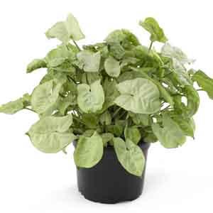 Arrowhead Vine, Arrowhead Plant