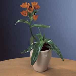 Sun Star, Orange Star Plant Indoors (Ornithogalum dubium)
