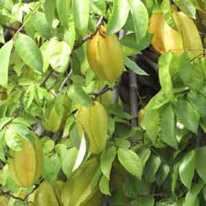Star Fruit, Carambola