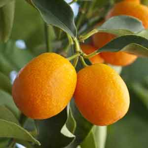 Meiwa Sweet Kumquat