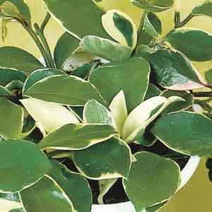 Hoya, Wax Plant