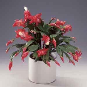 Zygocactus, Christmas Cactus