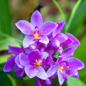 Ground Orchid, Phillippine Orchid, Boat Orchid