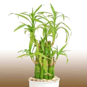 Lucky Bamboo, Ribbon Plant