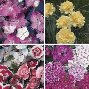 Dianthus, Garden Pinks