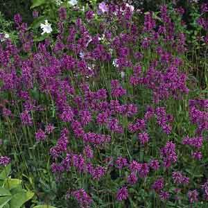 Purple Betony, Bishp's Wort, Wood Betony