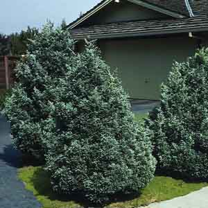 Smooth Cypress