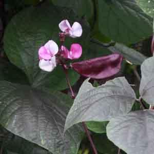 Hyacinth Bean, Egyptian Bean, Indian Bean
