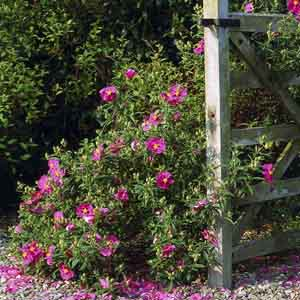 Rock Rose, Sun Rose