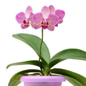 Miniature Phalaenopsis Orchids