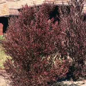 Purple Hop Bush