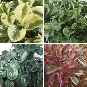 Peperomia, Radiator Plant