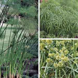 Cyperus, Sedge, Umbrella Plant, Wild Spike