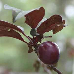 Purple Leaf Flowering Plum