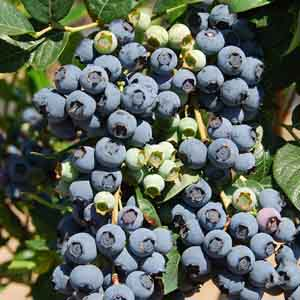 Rabbiteye Blueberry