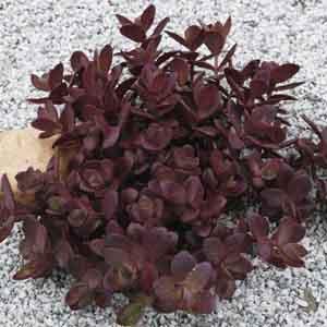 Stonecrop, Groundcover Sedum