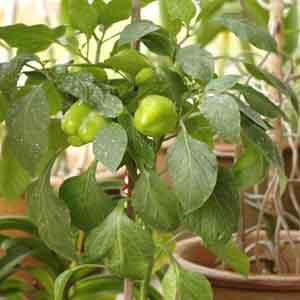 Patio Bell Pepper