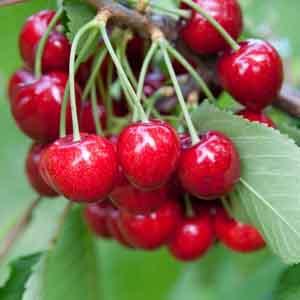Dwarf Sour Cherry
