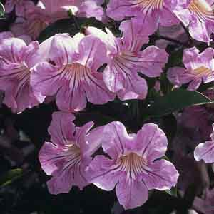 Lavender Trumpet Vine