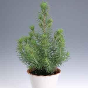 Italian Stone Pine Indoors