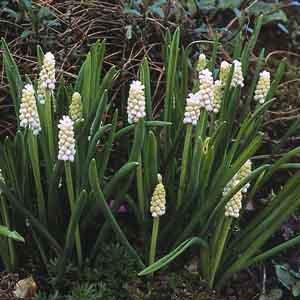 White Muscari, White Grape Hyacinth