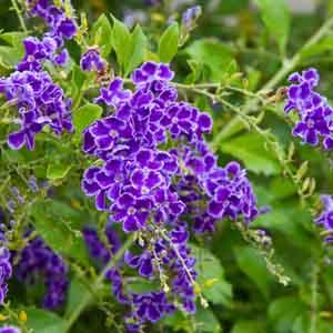 Duranta, Sky Flower